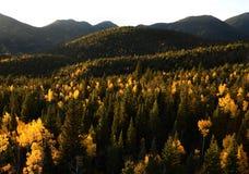 Le tremule si sono mescolate con il evergreen fotografia stock libera da diritti
