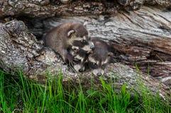 Le trio des ratons laveurs de bébé (lotor de Procyon) s'élèvent au-dessus de l'un l'autre Image libre de droits