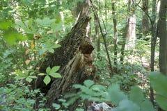 Le tronçon d'arbre émerge de la nouvelle croissance Photographie stock libre de droits