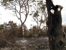 Le tron?on d'eucalyptus est tout ce qui est laiss? image libre de droits