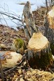 Le tronçon d'un castor a mâché l'arbre Images stock