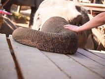 Le tronc d'éléphant est sur le conseil et la main de l'homme frotte le sien dans la perspective de la tête Images stock