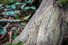Le tronc d'arbre avec le lierre vert pousse des feuilles à l'arrière-plan Images libres de droits