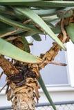 Le tronc d'arbre des feuilles d'usine d'aloès se ferment vers le haut de la vue saine image stock