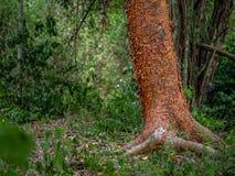 Le tronc d'un arbre gombo-fictif dans la jungle mexicaine entourée photos libres de droits
