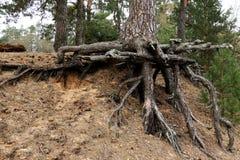 Le tronc d'un arbre impeccable avec de grandes racines ouvertes photos stock