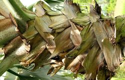 Le tronc d'un fond d'abrégé sur palmier Photo libre de droits