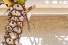 Le tronc d'un palmier a placé contre un mur et une fasce crème de stuc un jour ensoleillé image stock