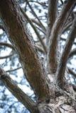 Le tronc d'un vieux grand arbre Image libre de droits