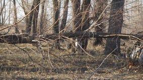 Le tronc de l'arbre sec et vent-tombé banque de vidéos