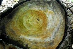Le tronc de peuplier avec une section colorée a coupé du temps les montagnes de Berici dans la province de Vicence en Vénétie (It Photos stock