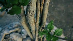 Le tronc du jeune arbre de fleur clips vidéos