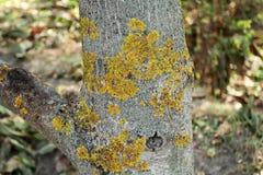 Le tronc du lichen affecté de vert jaune de jardin d'arbre Disea Images libres de droits