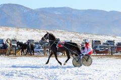 Le trotteur français de baie contre des montagnes d'Altai Photographie stock libre de droits