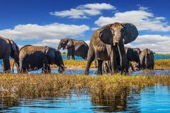 Le troupeau d'éléphants viennent pour boire Images libres de droits