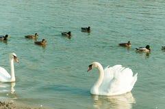 Le troupeau de beaux cygnes muets blancs nagent dans l'eau bleue entourée par le foyer sélectif de canards Photographie stock libre de droits