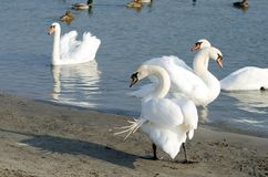 Le troupeau de beaux cygnes muets blancs nagent dans l'eau bleue entourée par le foyer sélectif de canards Photos stock