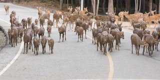 Le troupeau de cerfs communs marche à travers la route Image stock