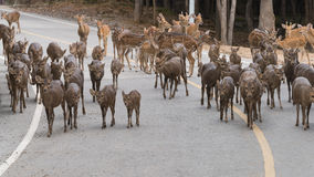 Le troupeau de cerfs communs marche à travers la route Photo libre de droits
