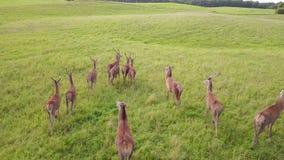 Le troupeau de cerfs communs menés par un chef marche dans le pré Levé aérien banque de vidéos