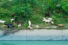 Le troupeau de chèvres marchent pour trouver la consommation autour du canal photos libres de droits