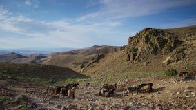 Le troupeau de chevaux dans les montagnes Chevaux frôlant dans le pré contre le ciel bleu photos stock