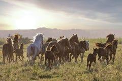 Le troupeau de chevaux jeûnent courant sur le medov Photo libre de droits