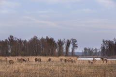 Le troupeau de chevaux de konik dans les oostvaarders plassen en Hollandes Image libre de droits