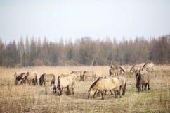 Le troupeau de chevaux de konik dans les oostvaarders plassen en Hollandes Photo stock