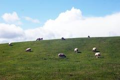 Le troupeau de moutons alimentent sur la prairie photos stock