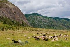Le troupeau de moutons de chèvre frôlent la montagne Photographie stock libre de droits