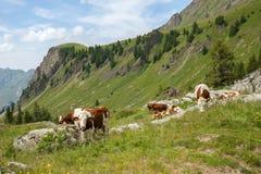 le troupeau de vache alimentent sur la gamme de bétail Image libre de droits