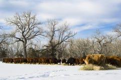 Le troupeau de vaches alimentent sur le foin pendant l'hiver photographie stock libre de droits