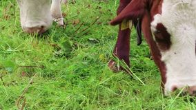 Le troupeau de vaches blanches brunes avec gagnent des marques sur un pré Terres cultivables dans le Tirol Autriche banque de vidéos