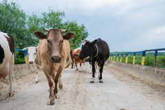 Le troupeau de vaches revient à la maison du pâturage La vie dans le village photo libre de droits