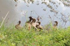 Le troupeau des canards vit sur le bord du canal Photo libre de droits