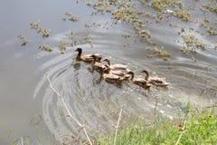 Le troupeau des canards vit sur le bord du canal Images libres de droits