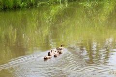 Le troupeau des canards vit sur le bord du canal Photos libres de droits