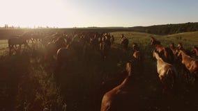 Le troupeau des chevaux fonctionne banque de vidéos