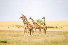 Le troupeau des girafes redressent faire face à un groupe de lions dans la savane Photographie stock libre de droits