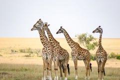 Le troupeau des girafes redressent faire face à un groupe de lions dans la savane Image stock