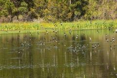 Le troupeau des hirondelles d'arbre écrème l'eau pour des poissons, la Géorgie Photo libre de droits