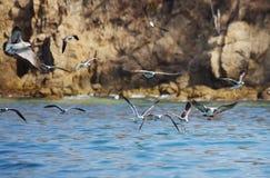 Le troupeau des mouettes au-dessus de la mer Photos stock
