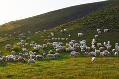 Le troupeau des moutons Image stock