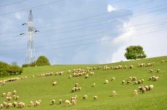 Le troupeau des moutons alimentent sur l'herbe sur le pré vert à côté du pilier électrique Photo stock