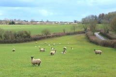 Le troupeau des moutons frôlent sur des terres cultivables Photo stock