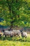 Le troupeau des moutons s'approchent de la forêt Photo stock