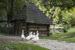 Le troupeau des oies blanches s'approchent de la vieille hutte en bois photo libre de droits