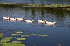 Le troupeau des oies navigue avec élégance le long de la rivière Photographie stock