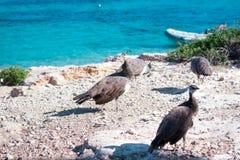 Le troupeau des paons colorés marchent sur des roches de côte Images stock